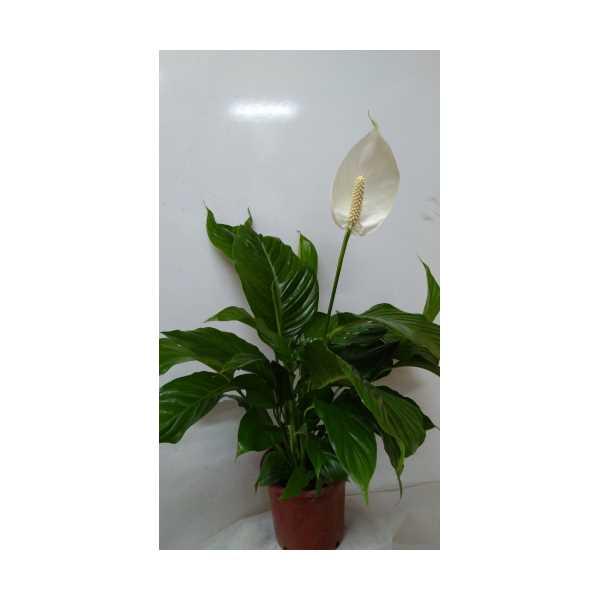 Barış çiçeği Spatifilyum Büyük Boy XL