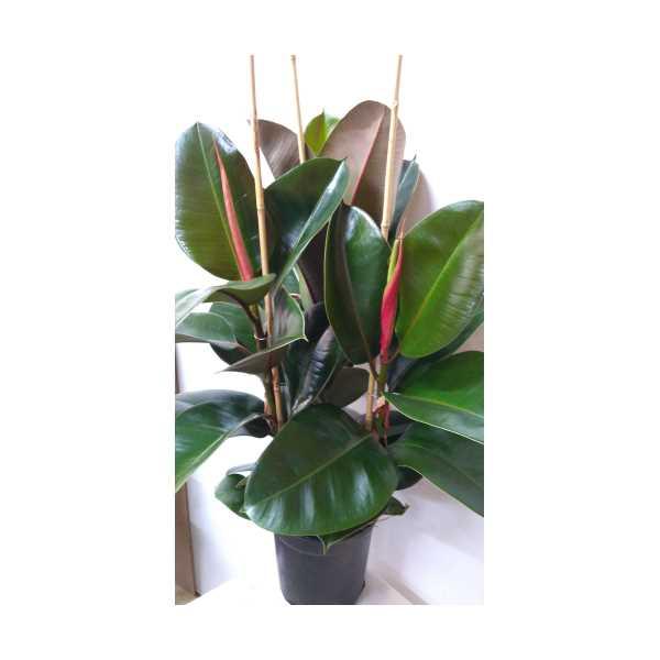 Kauçuk Bitkisi  3'lü (50-80 Cm) Ficus Elastica
