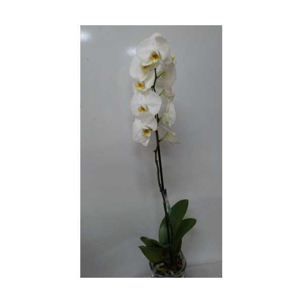 Tek Dal Orkide Beyaz