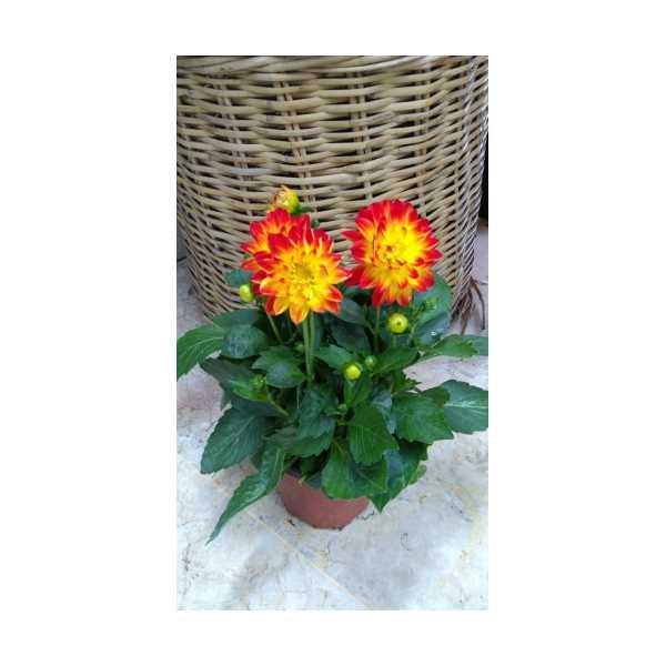 Yıldız Çiçeği  (Kırmızı-Sarı) saksıda